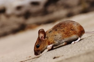 Mice Exterminator, Pest Control in Highgate, N6. Call Now 020 8166 9746