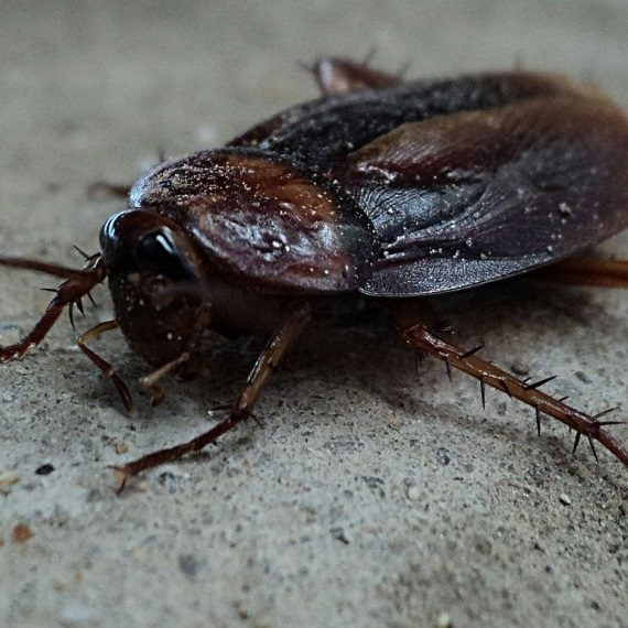Cockroaches, Pest Control in Highgate, N6. Call Now! 020 8166 9746