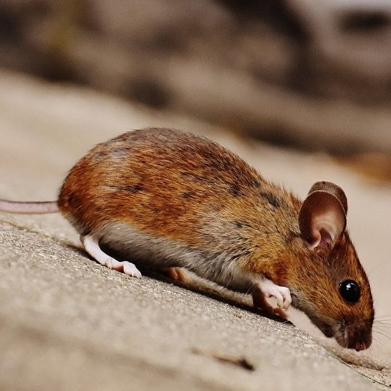 Mice, Pest Control in Highgate, N6. Call Now! 020 8166 9746