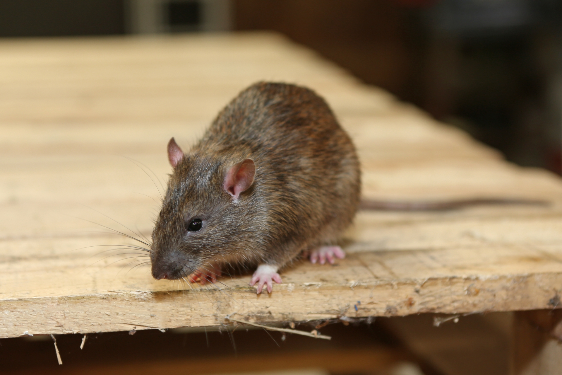 Rat Control, Pest Control in Highgate, N6. Call Now 020 8166 9746