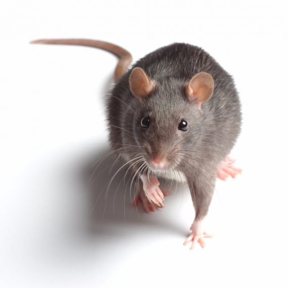 Rats, Pest Control in Highgate, N6. Call Now! 020 8166 9746